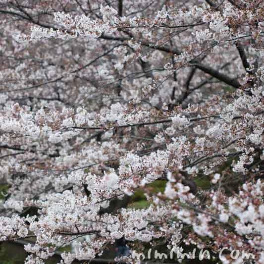 目黒川 お花見