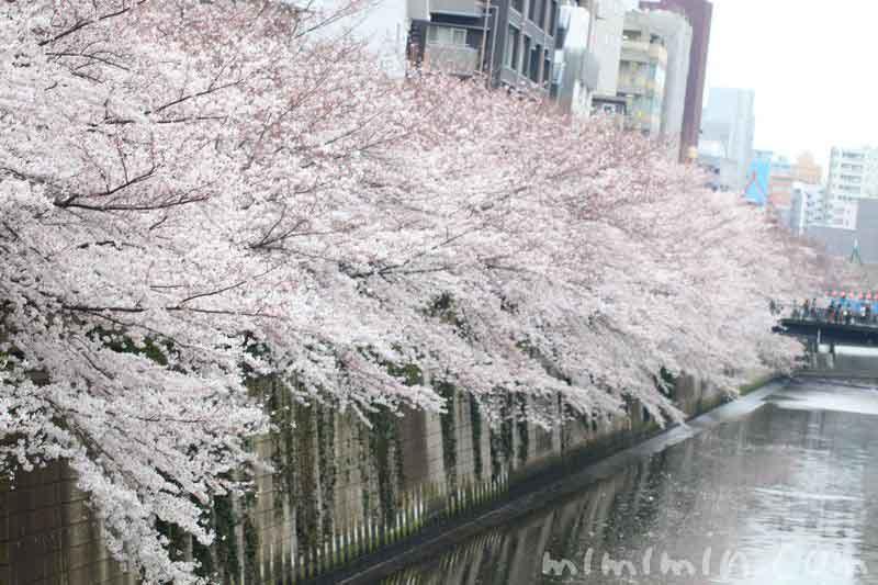 桜 8分咲き