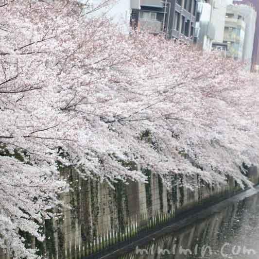 目黒川の桜 お花見の画像