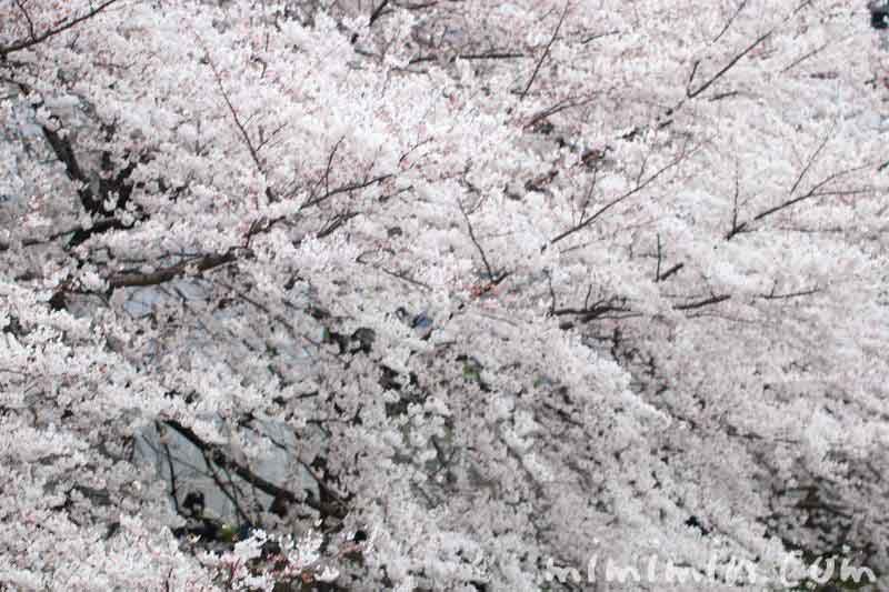 目黒川の桜 8分咲き