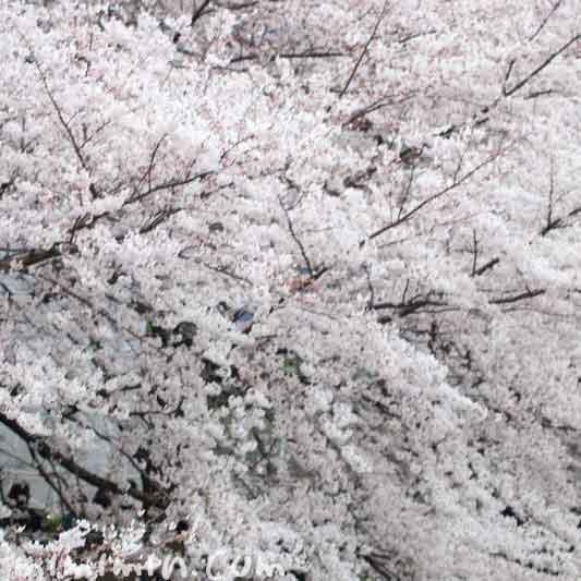 目黒川の桜(お花見)