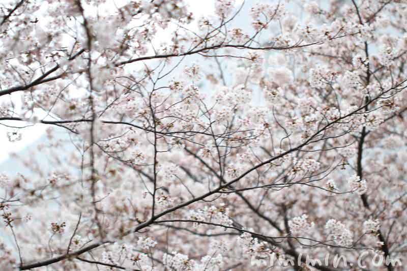 目黒川の桜 8分咲きの画像