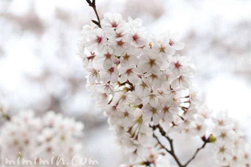 ソメイヨシノ 目黒川の桜 花言葉