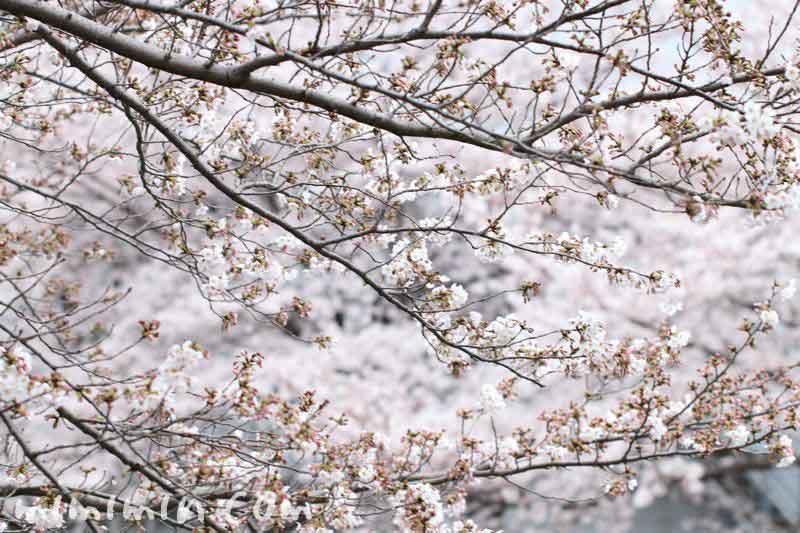 ソメイヨシノ 目黒川の桜 花言葉の画像