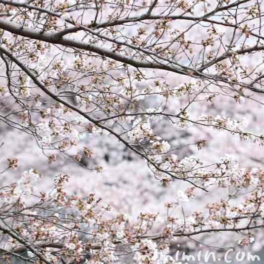 目黒川の桜 ソメイヨシノの画像
