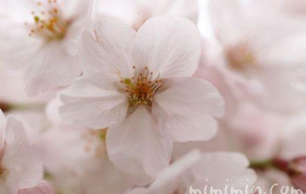 ソメイヨシノ 目黒川の桜の写真