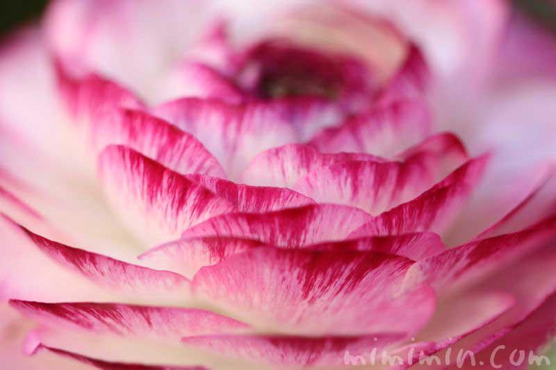 ラナンキュラスの誕生花の画像