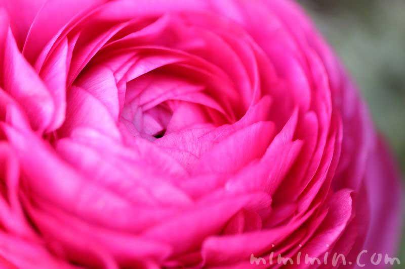 ラナンキュラスの花・濃いピンクの写真