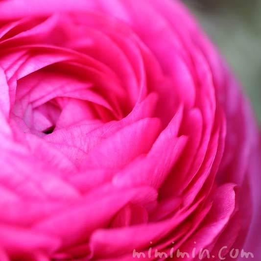 ラナンキュラス・濃いピンクの画像
