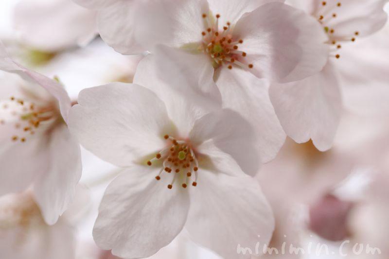 染井吉野(目黒川の桜)