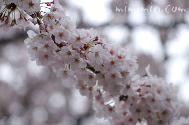 染井吉野 目黒川の桜の画像
