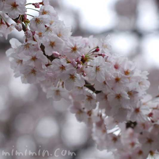目黒川の桜の花の画像