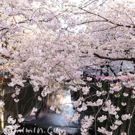 目黒川の桜・満開の画像