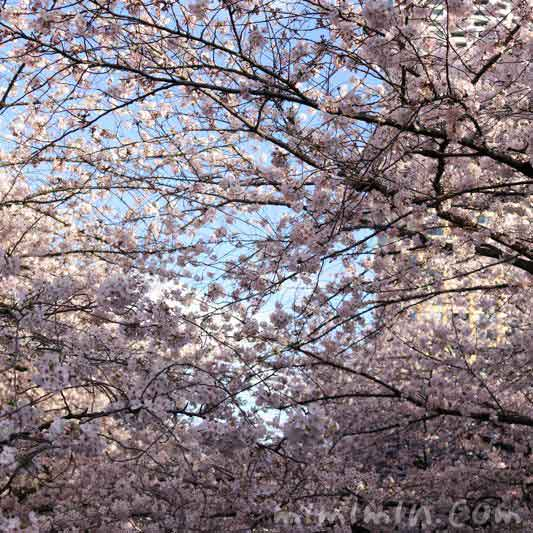 目黒川の桜・満開