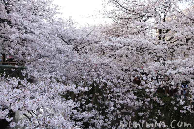 目黒川・お花見の写真