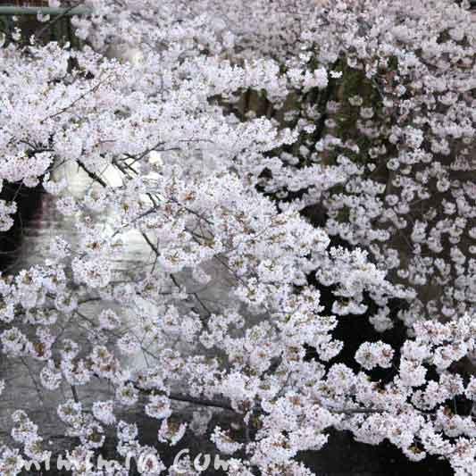 目黒川の桜・満開のソメイヨシノ