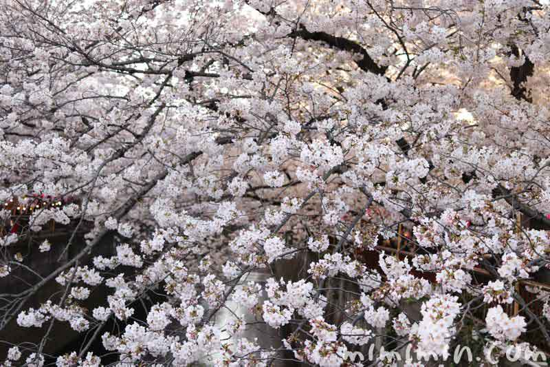 目黒川・お花見