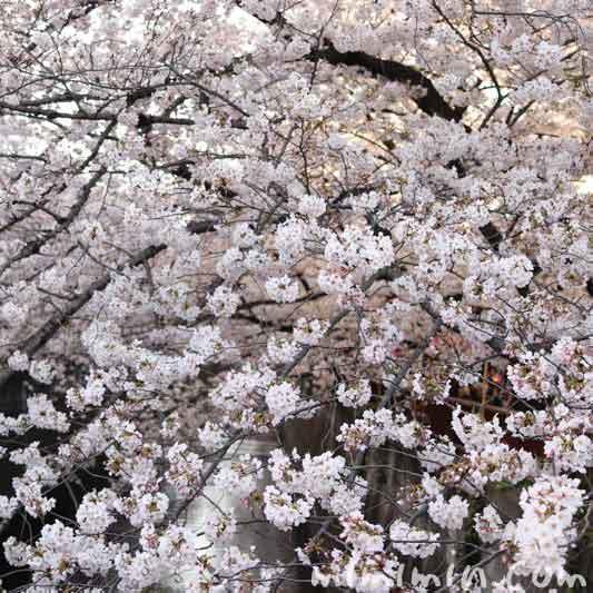 目黒川の桜・満開のソメイヨシノの画像
