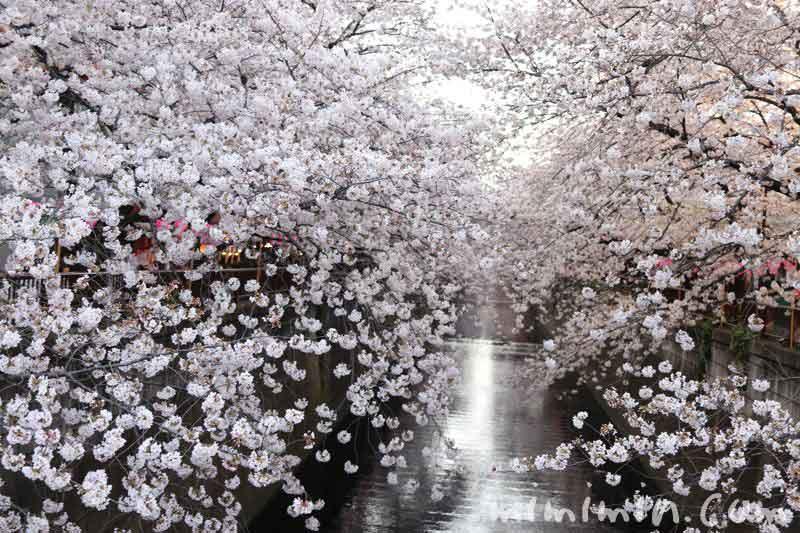 目黒川の桜・お花見