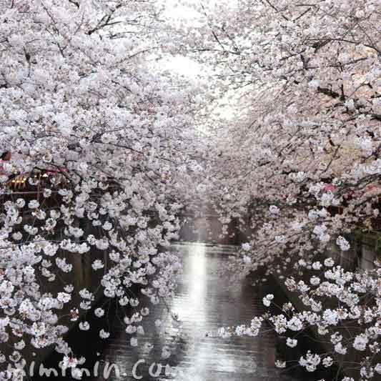目黒川の桜・満開の染井吉野