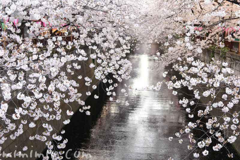目黒川の桜・お花見の写真