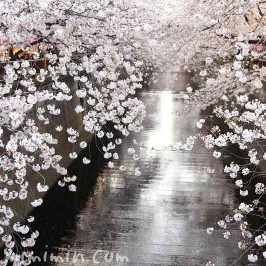 目黒川の桜・満開の染井吉野の写真