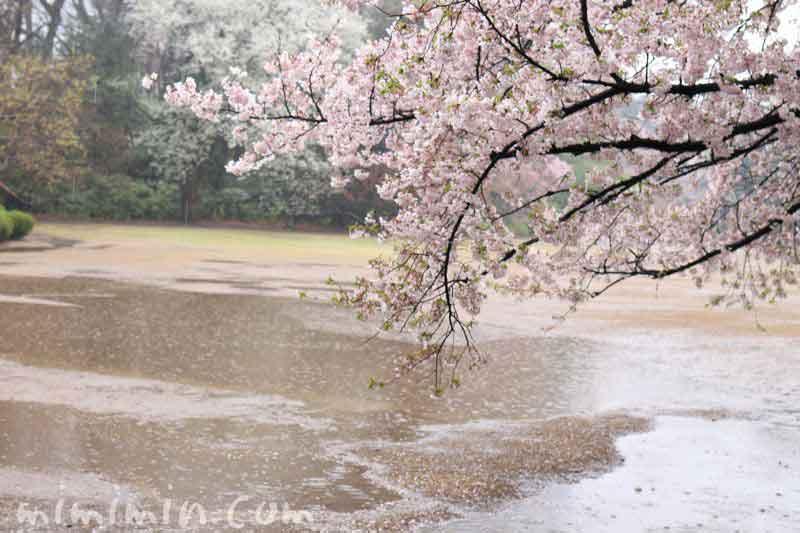 染井吉野・雨の新宿御苑