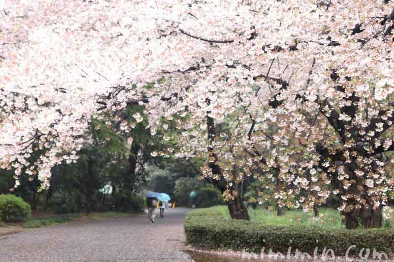 お花見・新宿御苑の画像