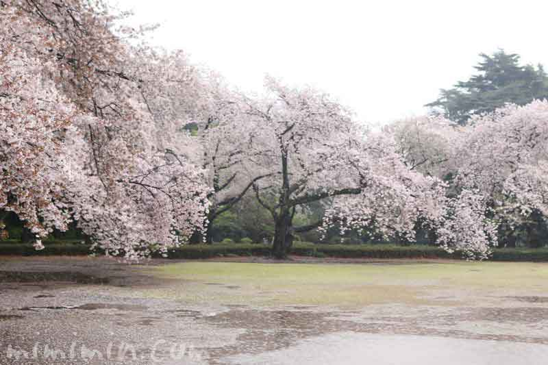 お花見・新宿御苑の写真