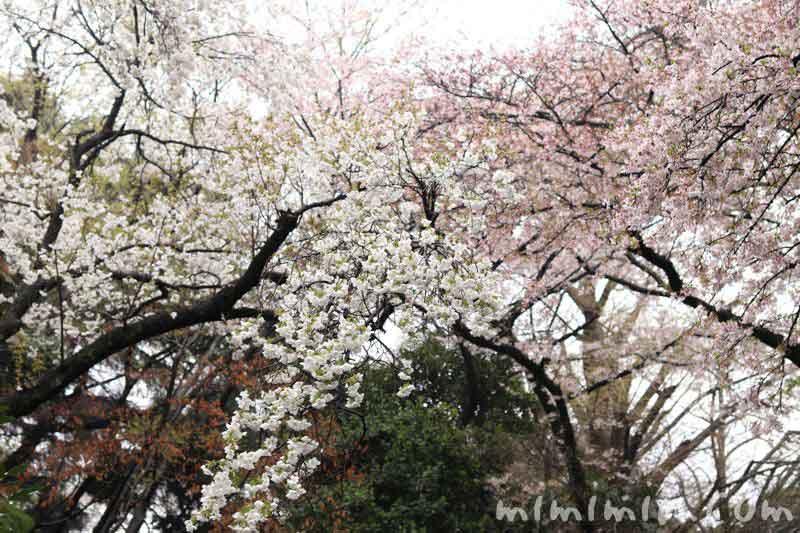 桜・白雪の画像