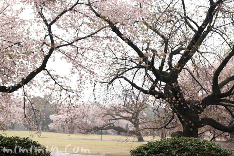 雨の新宿御苑のお花見の画像