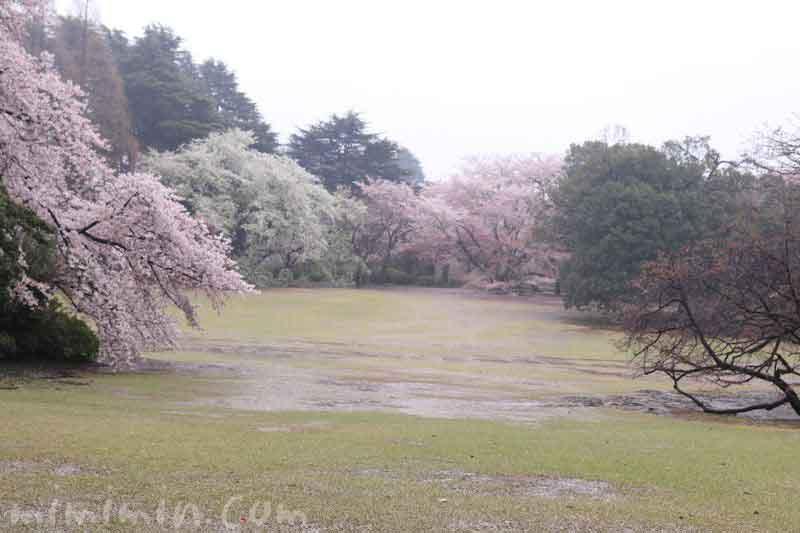 お花見・雨の新宿御苑