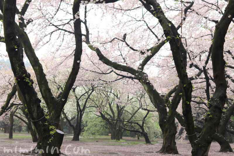 雨の新宿御苑のお花見