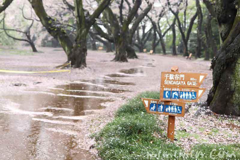 お花見・雨の新宿御苑の画像