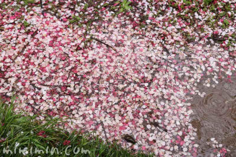 ハナモモと桜の花びらの写真
