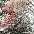 ハナモモと桜の画像