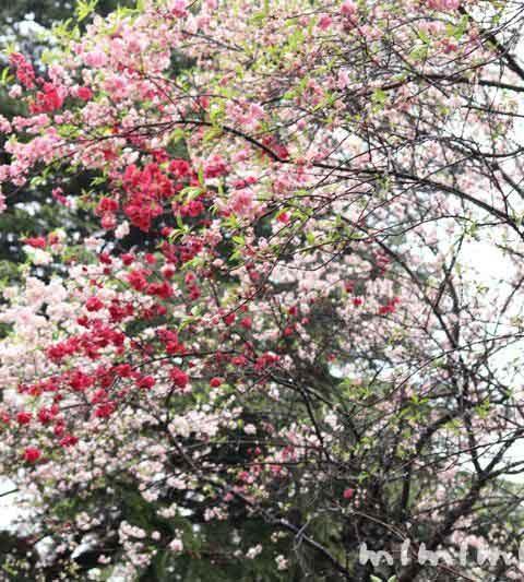 新宿御苑の桜・お花見(雨の新宿御苑)