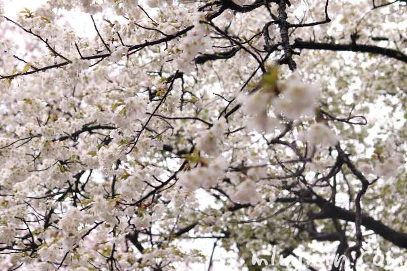 桜の花・新宿御苑の画像