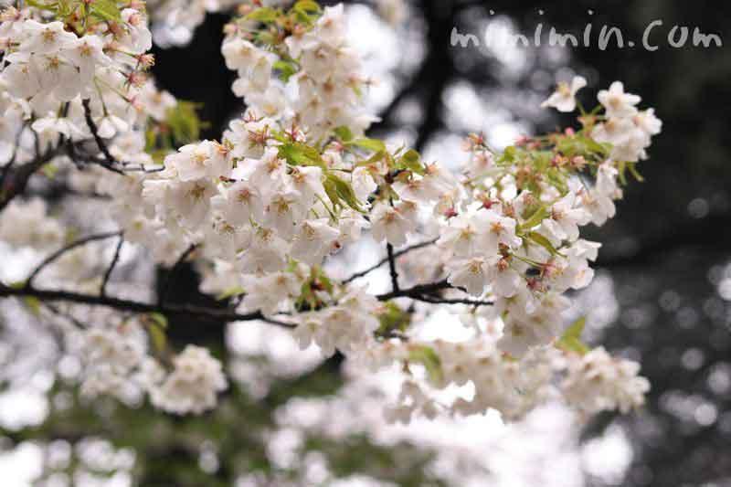 ソメイヨシノ・新宿御苑