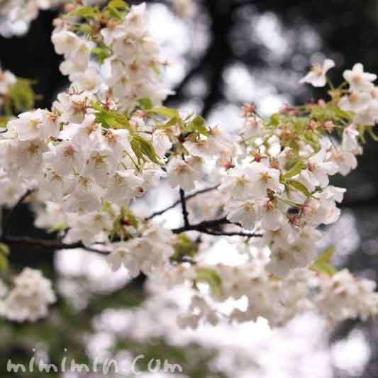 葉桜・ソメイヨシノの画像