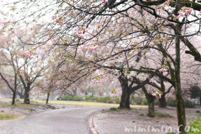 染井吉野・新宿御苑の画像