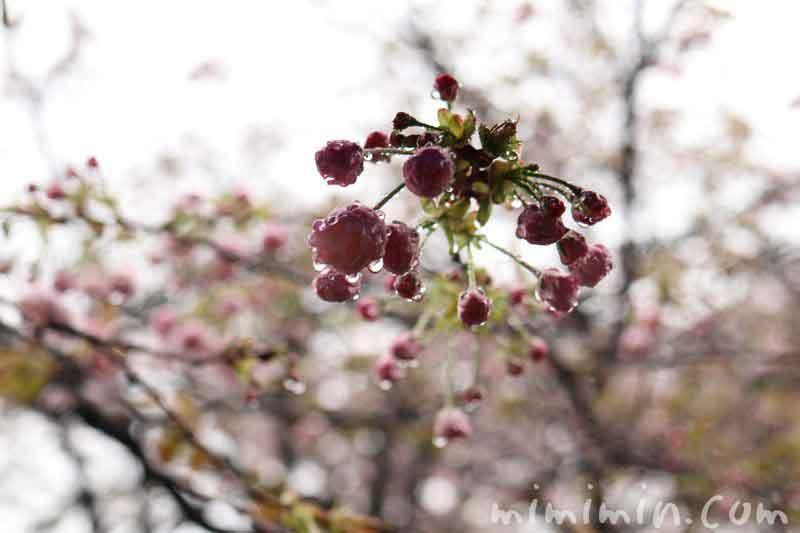 桜・一葉のつぼみの写真