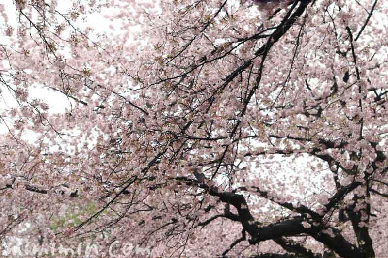 ソメイヨシノ・新宿御苑の画像