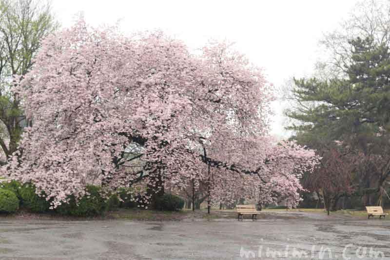 雨の桜の写真