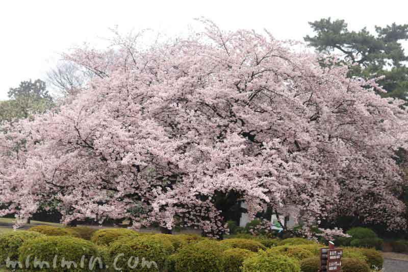 桜・新宿御苑