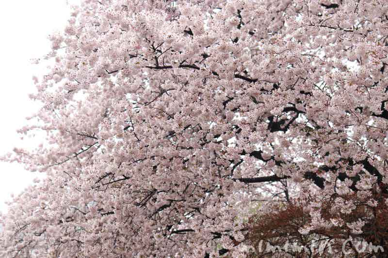 桜・新宿御苑の画像
