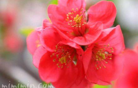 木瓜の花・赤の写真