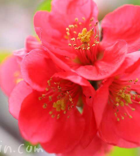 ボケ(木瓜)の花言葉・誕生花・源平咲分けのボケの花の写真