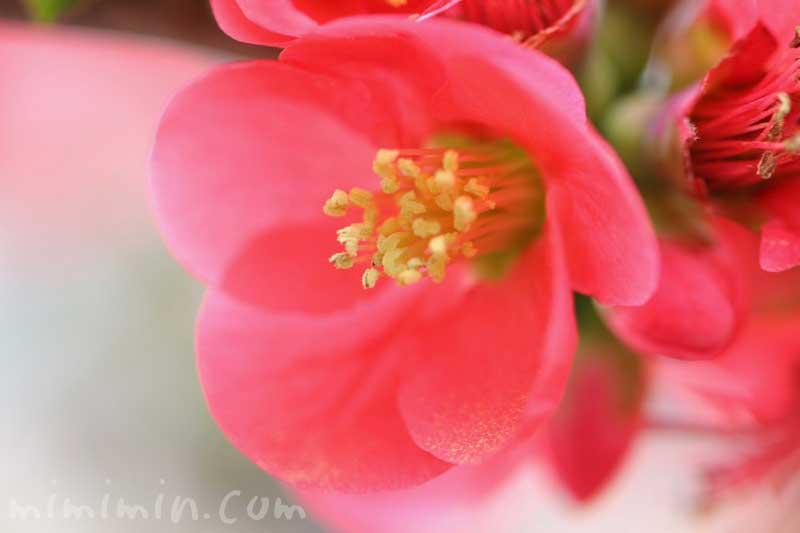 赤い木瓜の写真と花言葉の画像