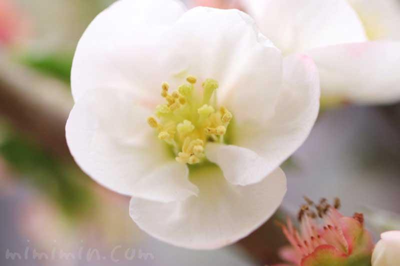 ボケ(白)の写真と花言葉の画像